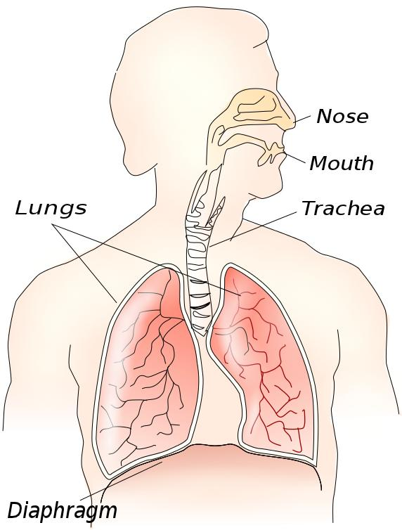 Respiratory system healthnewsblog basic diagram of our respiratory system ccuart Image collections